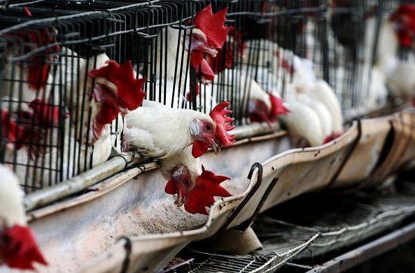 Приостановлен ввоз мяса птицы из Эстонии