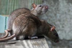 Disease spread by rats kills 1, sickens 2