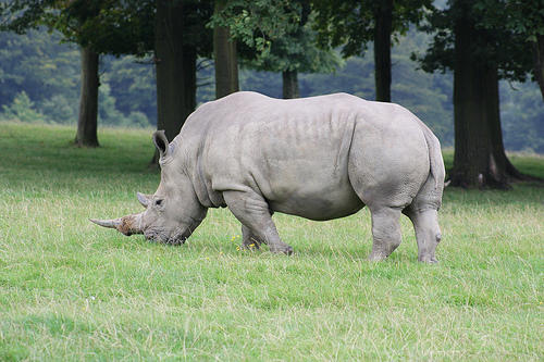 Kenyan scientists harvest eggs to save white rhinos -