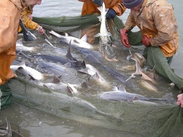 Nazirlikdən balıqçılara çağırış: Təbiətin düşmənləri...