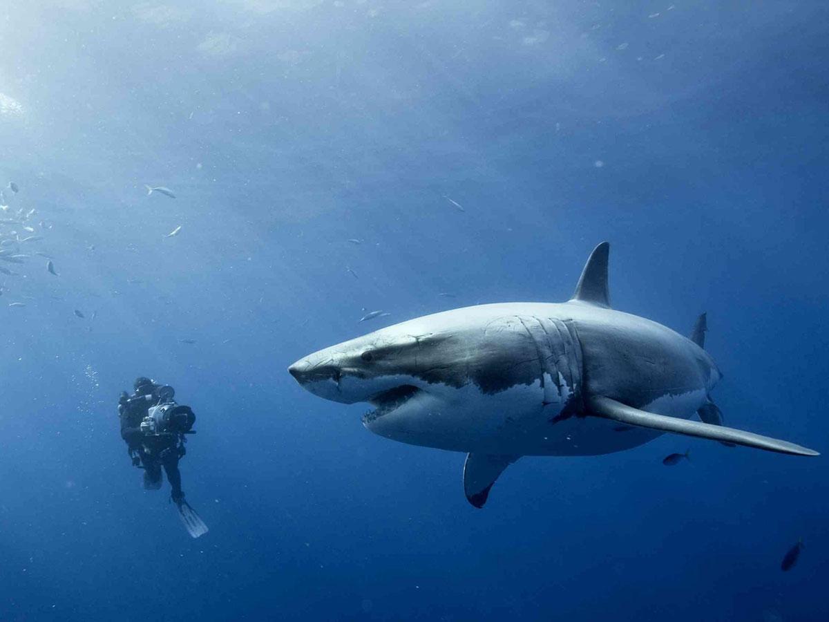 В Австралии мужчина погиб при нападении акулы
