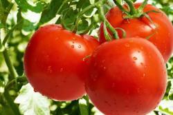 Pomidor şirəsinin möcüzələri - Siyahı