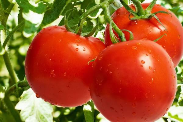 Daha 30 müəssisə Rusiyaya pomidor ixrac edə biləcək