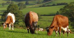 Коровы могут спасти человечество от ВИЧ