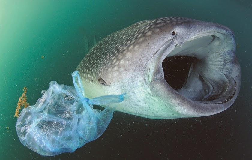 Почему рыбы едят пластик