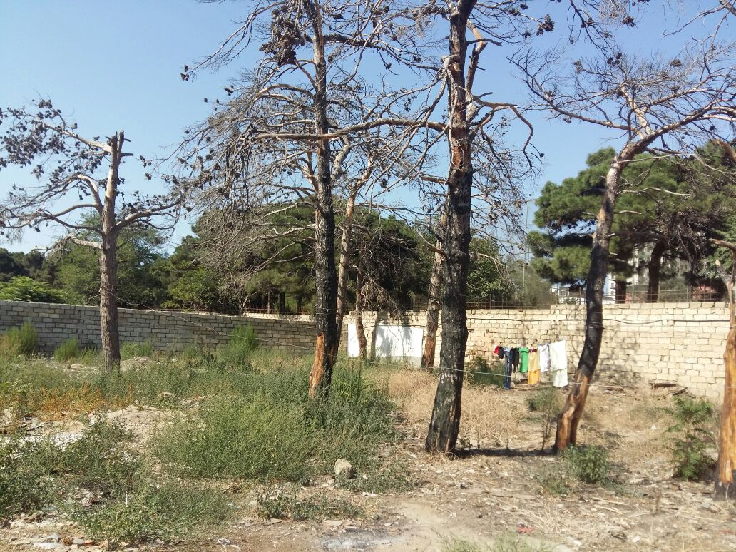 Bakıda xəstəlik yayıldı, şam ağacları kütləvi kəsilir – ETSN