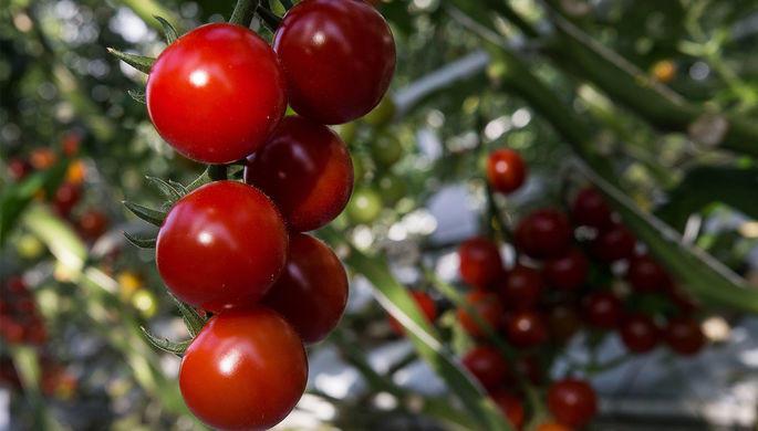 Турецкие томаты вернутся в Россию