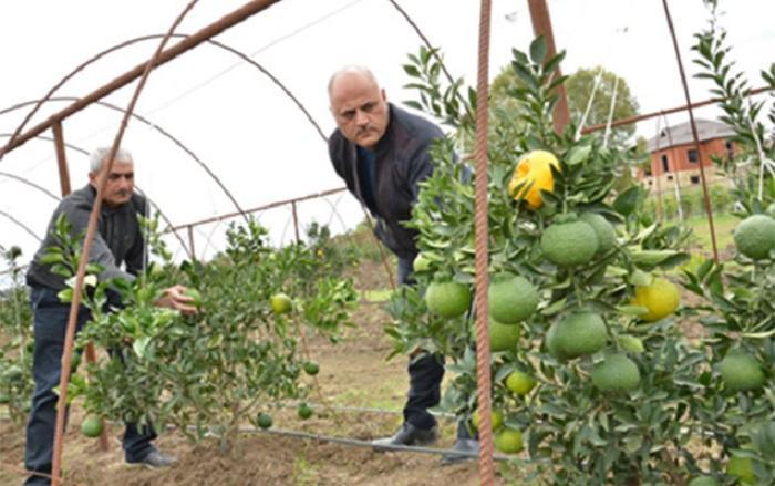 В Азербайджане вырастили новый фрукт