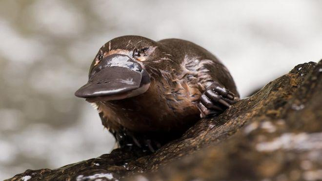 Platypus milk 'could help save lives'