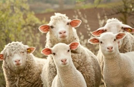 Запрещается ввоз крупного и мелкого рогатого скота в Баку