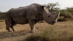 Вымер последний в мире белый носорог