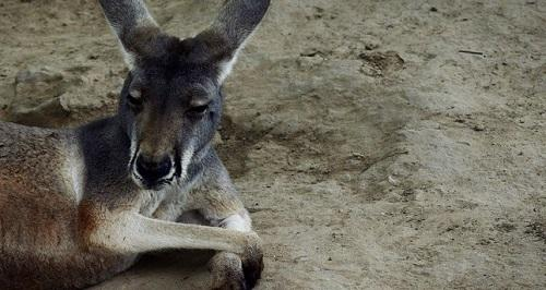 The beach of the dead kangaroos -