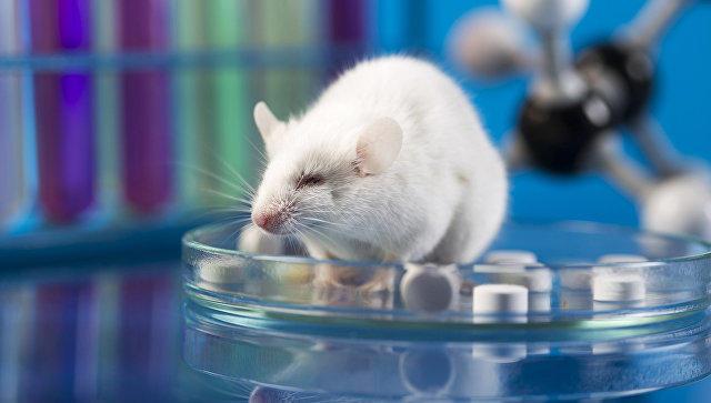 Биологи пересадили мышам человеческий мозг