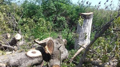 Xaçmazda ağac kəsən şəxs tutuldu