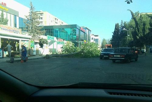 Bakıda yolun ortasına ağac aşdı - Foto
