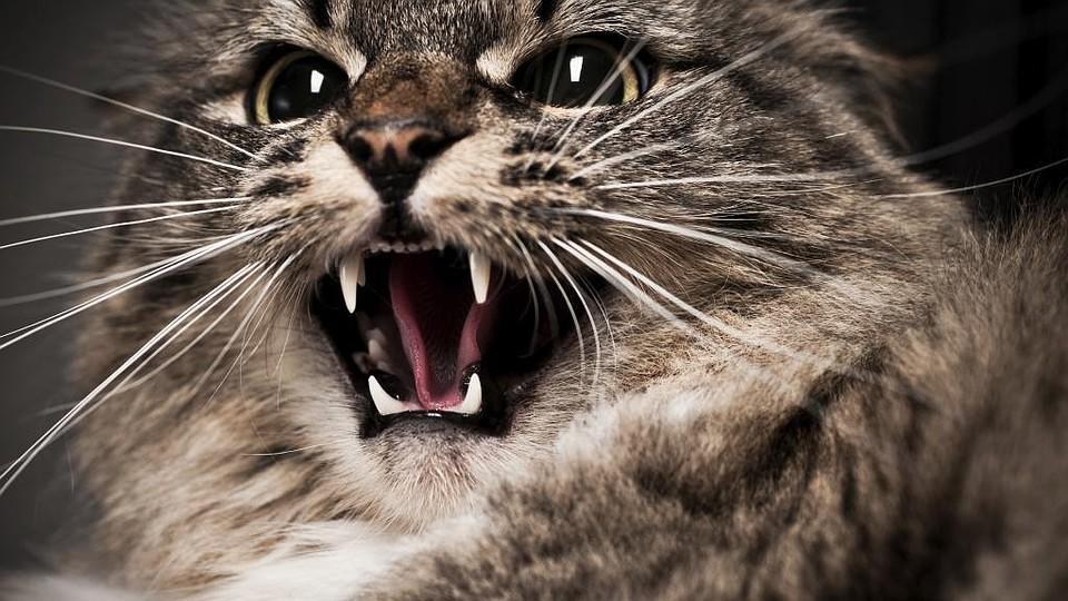 Британец скончался после укуса бешеной кошки
