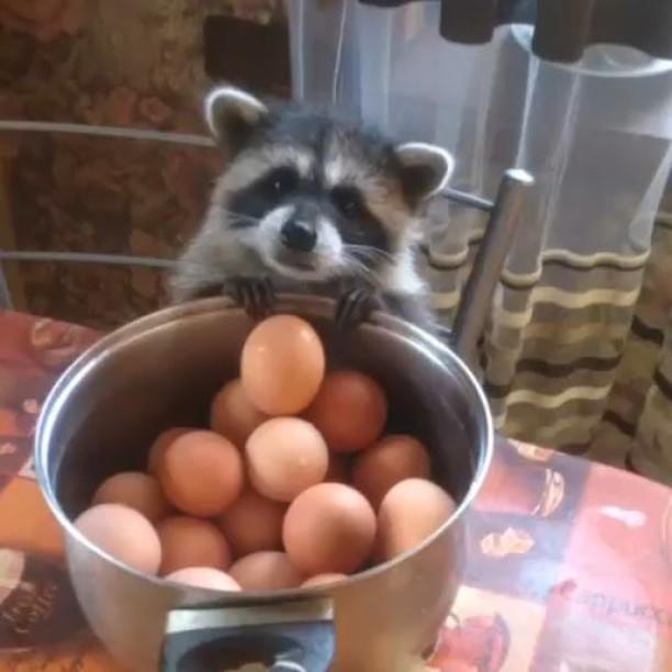 Cutest thief: Raccoon wants to steal egg
