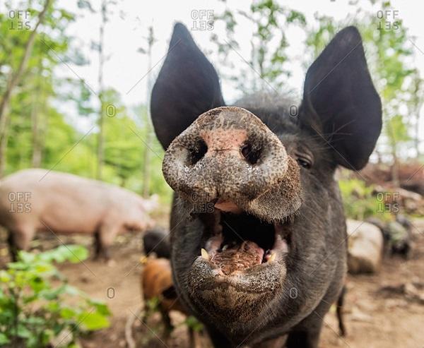 Армении не по вкусу свинина и яйца русских кур