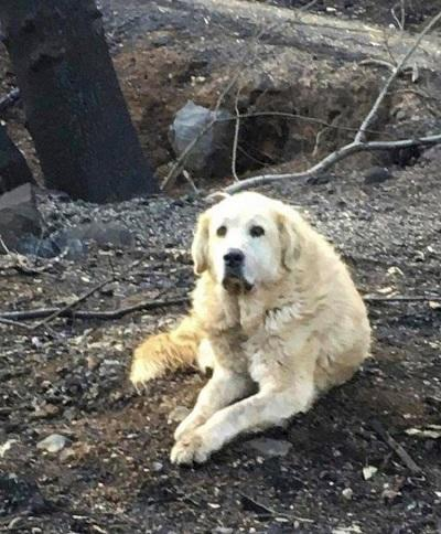 A dog survived California's camp fire waited for his owners