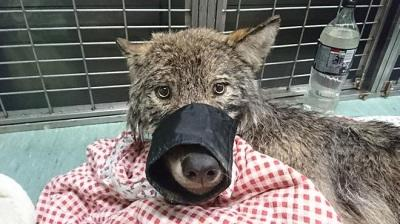 Estonians rescue wild wolf from ice thinking it was a dog -