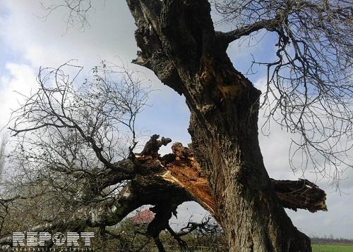 Güclü külək yüz yaşlı çinar ağacını aşırdı - Video