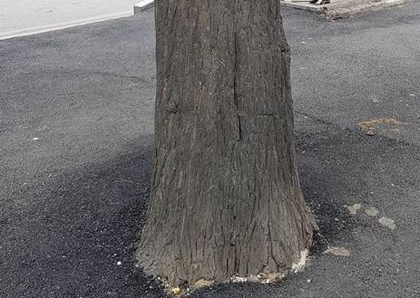 Ağacların gövdəsini də asfaltladılar - Foto