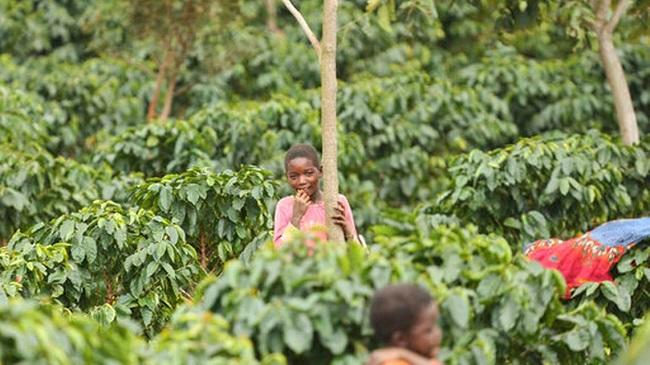 Coffee growers help reforest Africa, Mozambique