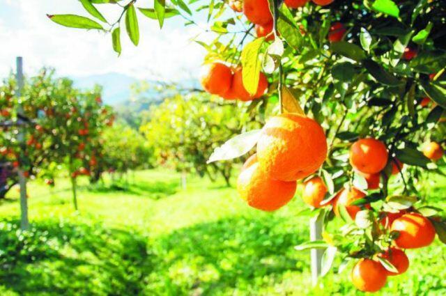 پرتقالین ماراقلی افسانهسی: ابدیلیک و اوغور سیموولو