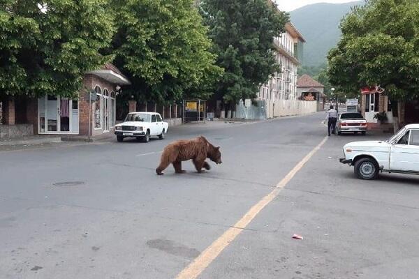 В центре Шеки разгуливает медведь - Видео