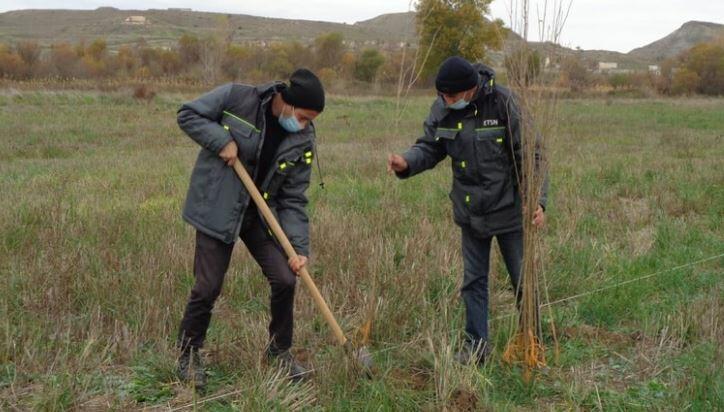 Qubadlıda Şərq çinarları əkildi, tut bağı salındı
