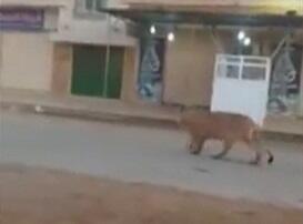 Şəhərin küçələrində aslan gəzir - Video