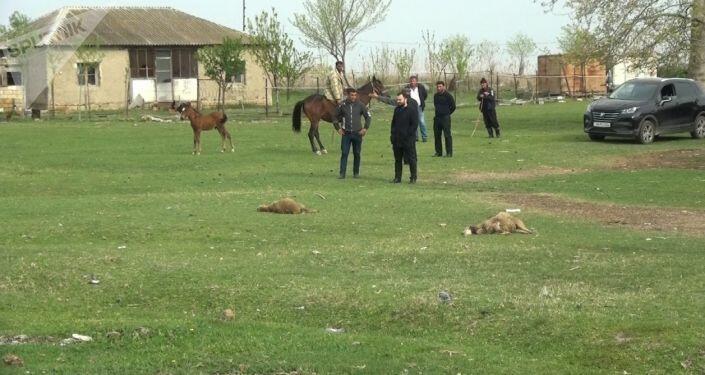 Bərdədə canavarlar kəndə hücum etdi - Foto
