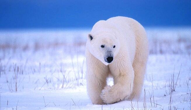Ağ ayıların nəsli kəsiləcək – Xəbərdarlıq